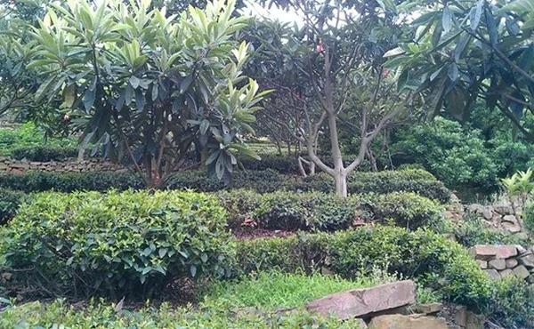 枇杷树和茶树同在